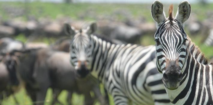 Bli med til Tanzania og opplev migrasjonen