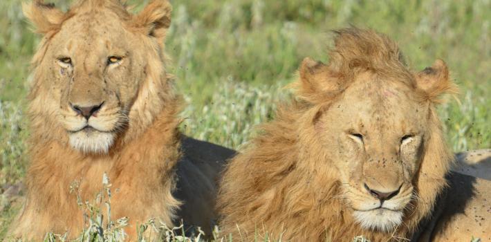 Løver Topp Afrika